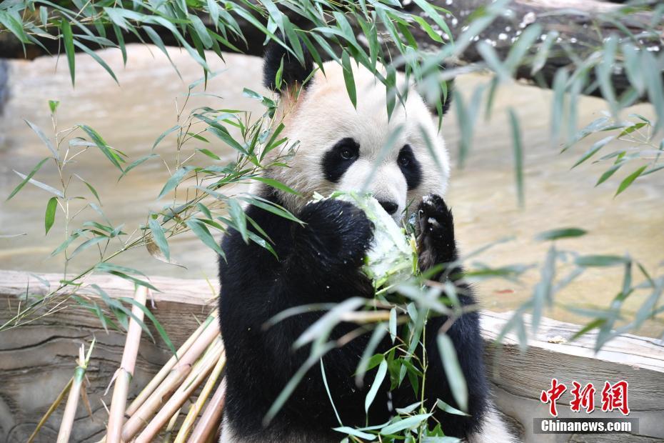 云南野生动物园大熊猫毛竹迎来5岁生日